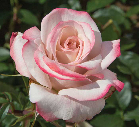 Pinkerbelle™ - a new hybrid tea rose with a great fragrance and high disease resistance.