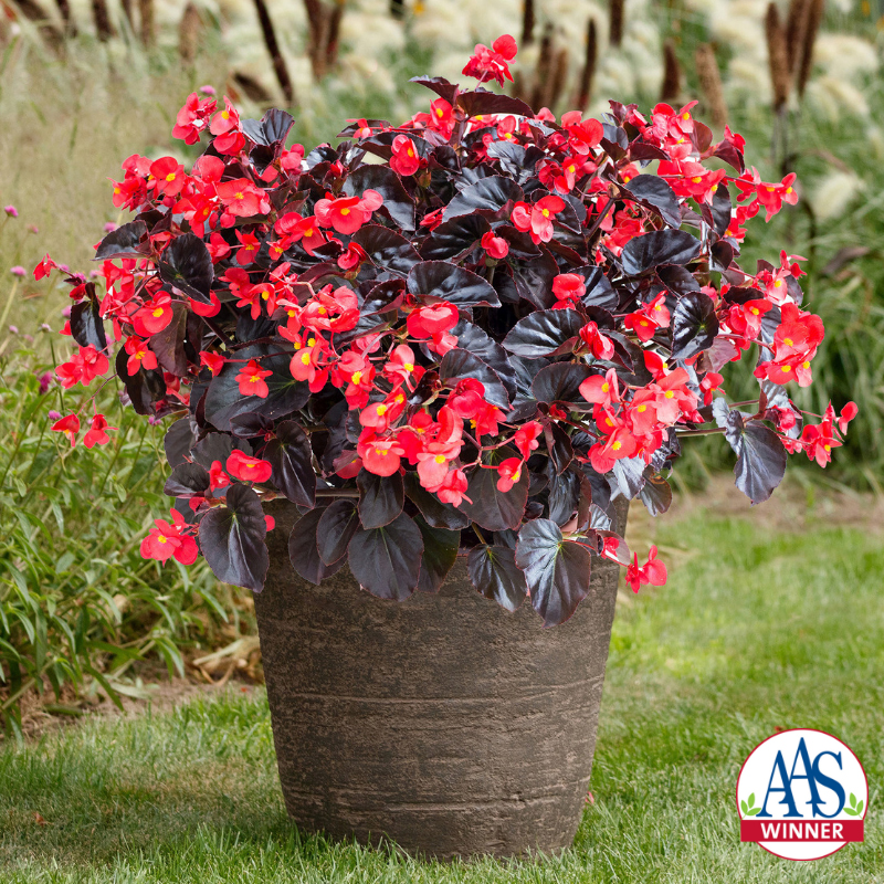"Look at this gorgeous color! Winner of the All America Selections Award 2019, Begonia ""Viking™ XL Red on Chocolate."" Bright red flowers with large dark-colored leaves. This plant is part of a new series, which includes three other colors: Red on Green, Pink on Green and Rose on Green. All-americaselections.org."