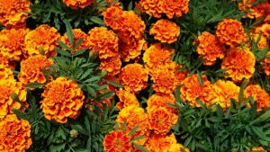 A top performer based on bi-weekly ratings from the 2018 Cornell Annual Trials Program: French Marigold, Bonanza Flame, from Pan-American Seed. Photo courtesy of blogs.cornell.edu