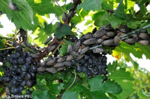 Not a pleasant site for growers or home gardeners - spotted lanternflies on a grapevine. Photo courtesy of Phila.gov