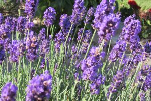 Lavender blossoms on a sunny summer morning. Photo by Kristina Gabalski
