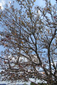 A crab apple tree in late summer showing early leaf drop due to foliar disease. Photo by Kristina Gabalski