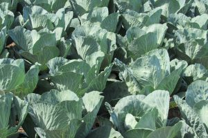 Rows of cabbages grow in a local farm field. Photo by Kristina Gabalski