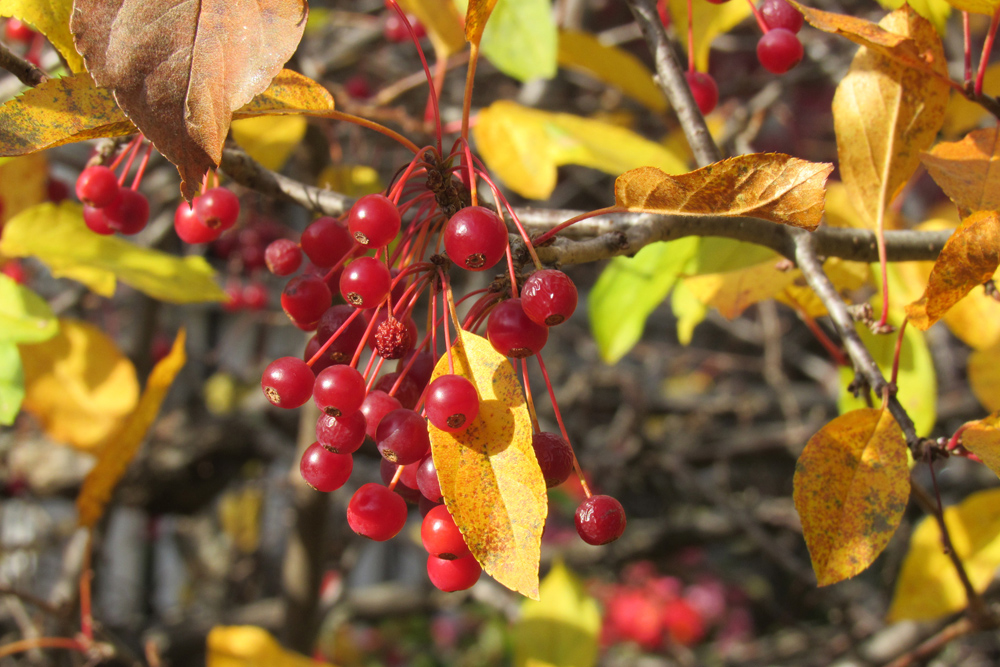 My Sargent Crabapple managed to do well this year despite fungal disease issues in other crab trees. Its bright red fruit has been beautiful against golden foliage this autumn. Photo by Kristina Gabalski