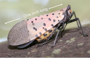 Spotted Lanternfly adult, side view. Photo: NYSIPM Staff