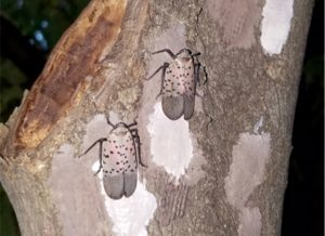 Spotted Lanternfly adult females covering freshly-laid egg masses with a putty-like substance. Photo: NYSIPM Staff