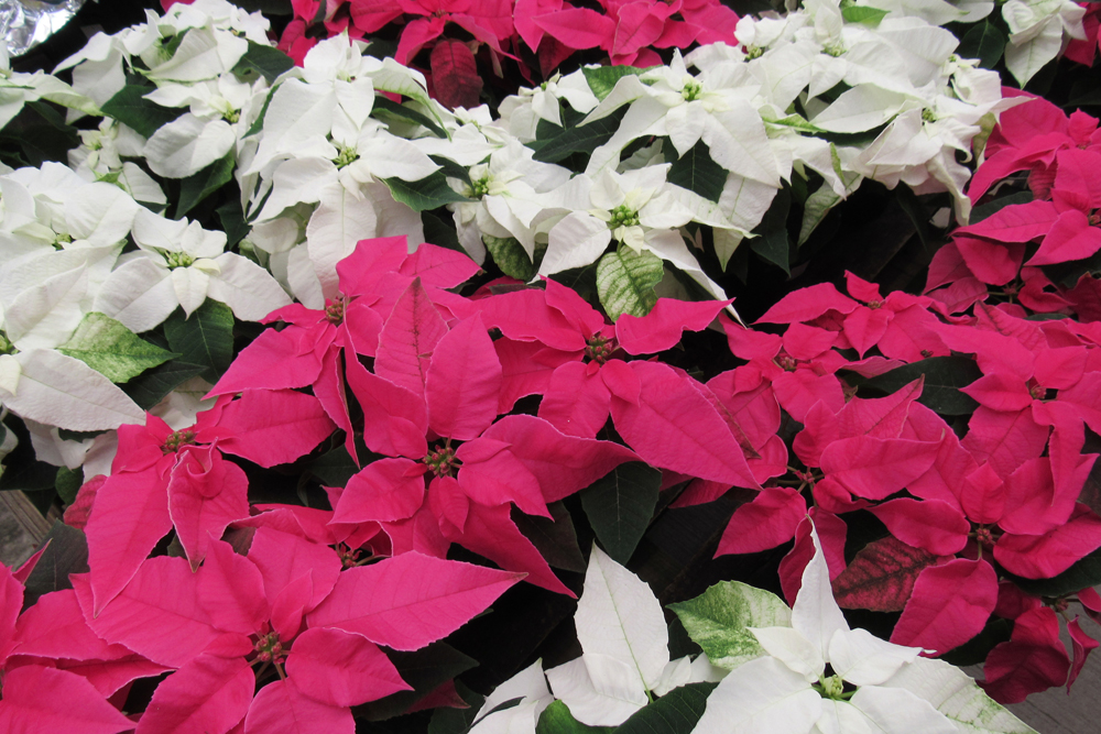 Proof that you can never have too many poinsettias! Bright white and pink poinsettias at Sara's Garden and Nursery in Brockport would make stunning and appreciated gifts for the gardener on your list. Photo by Kristina Gabalski