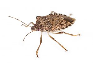 This is a brown marmorated stink bug, one of the insects that likes to come inside for the winter.