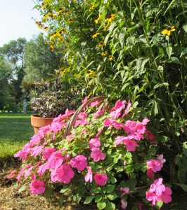 Brightly colored impatiens add excitement to the summer garden. New greenhouse growing strategies and new varieties mean you don't have to fear downy mildew as in the past. Photo by Kristina Gabalski